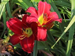 Taglilie 'Chicago Apache' - Hemerocallis x cultorum 'Chicago Apache'