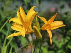 Taglilie 'Golden Scepter' - Hemerocallis x cultorum 'Golden Scepter'