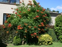 Amerikanische Klettertrompete (rot) - Campsis radicans (rot)