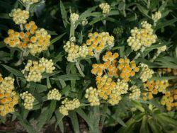 Turkestan Strohblume 'Schwefellicht' - Helichrysum thianshanicum 'Schwefellicht'