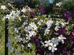Clematis 'Forever Friends' ('Zofofri') PBR - Clematis 'Forever Friends' ('Zofofri') PBR