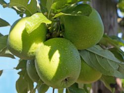 Winterapfel 'Granny Smith' - Malus 'Granny Smith'