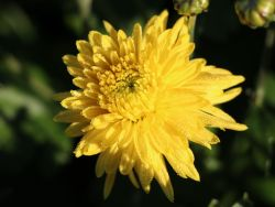 Winteraster 'Citronella' - Chrysanthemum x hortorum 'Citronella'