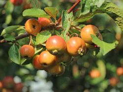 Zierapfel 'Evereste' - Malus 'Evereste'