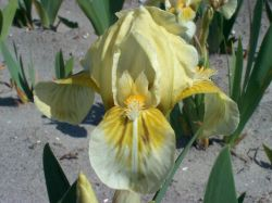 Zwergige Schwertlilie 'Forest Light' - Iris x barbata-nana 'Forest Light'