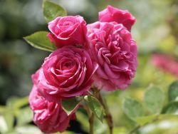Zwergrose 'Pink Babyflor' � - Rosa 'Pink Babyflor' �