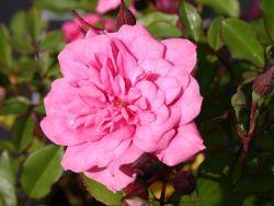 Zwergrose 'Rosmarin' � - Rosa 'Rosmarin'
