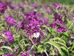 Zwergsommerflieder 'Buzz Pink Purple' - Buddleja davidii 'Buzz Pink Purple'
