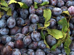 Zwetsche 'Cacaks Sch�ne' - Prunus 'Cacaks Sch�ne'