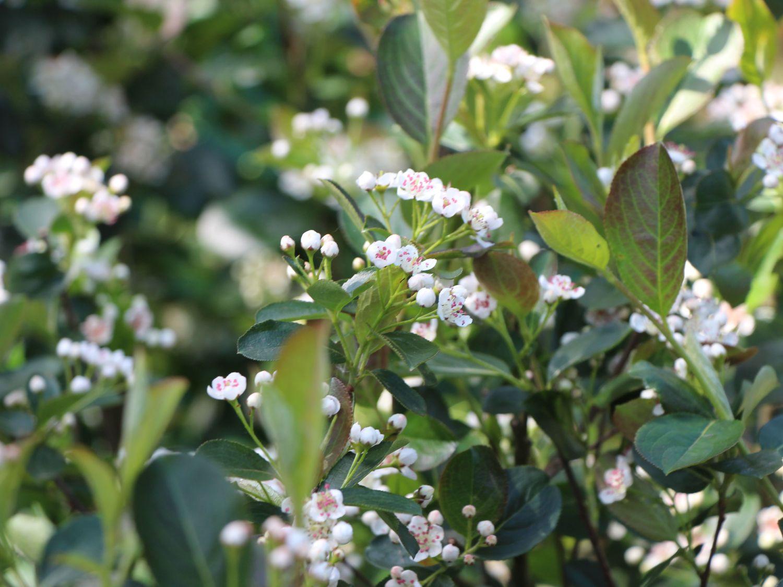 1f4e03abef728d Apfelbeere 'Nero' - Aronia prunifolia 'Nero' - Baumschule Horstmann