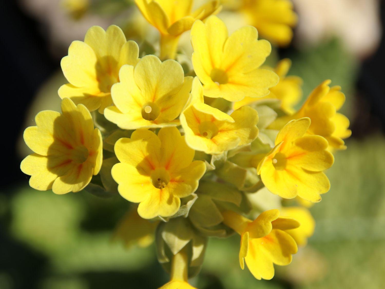 Apotheker Schlüsselblume Himmelsschlüsse Primula veris