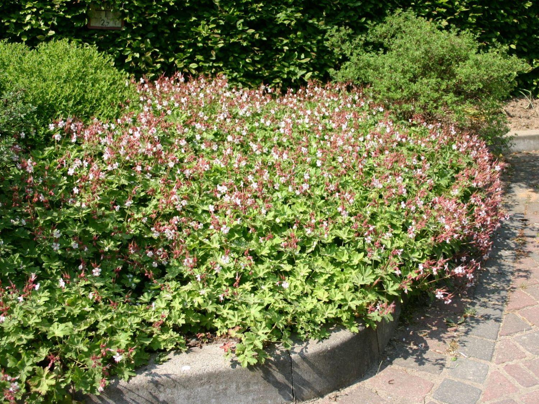 balkan storchschnabel 39 ingwersen 39 geranium macrorrhizum. Black Bedroom Furniture Sets. Home Design Ideas