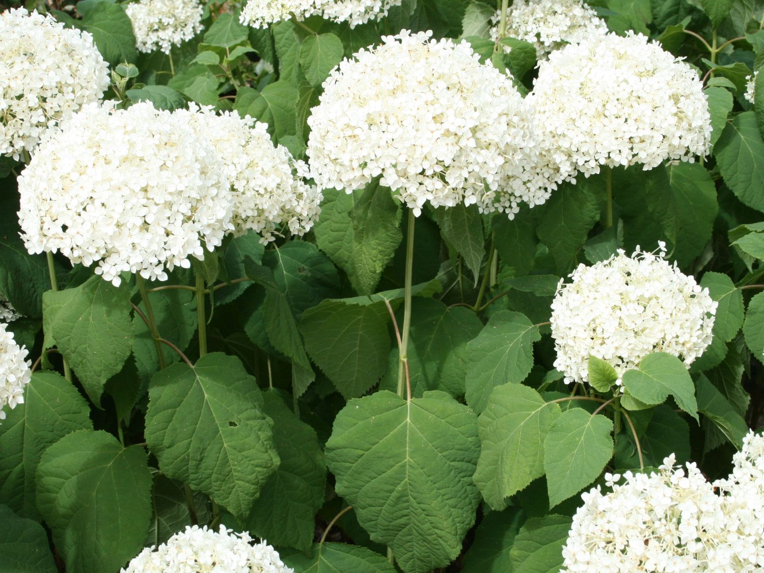 Description Hydrangea Arborescens 39;annabelle39;1.jpg