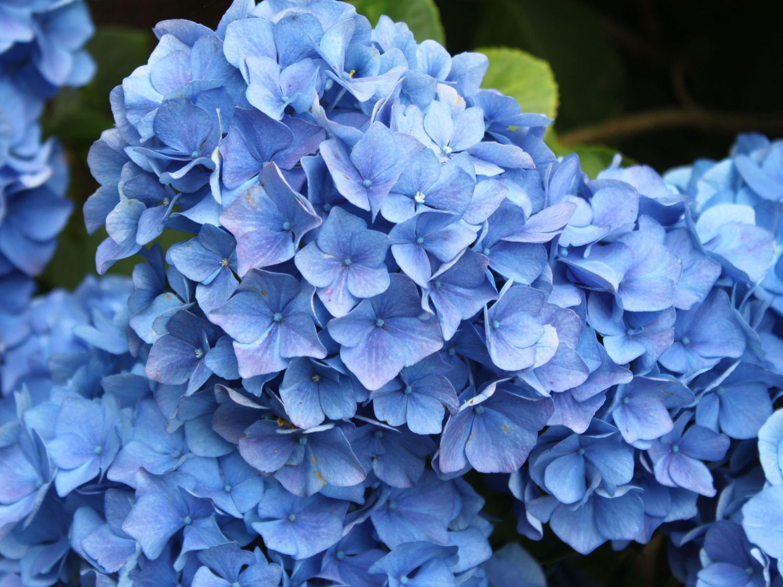 ballhortensie bauernhortensie 39 mathilde g tges 39 blau. Black Bedroom Furniture Sets. Home Design Ideas