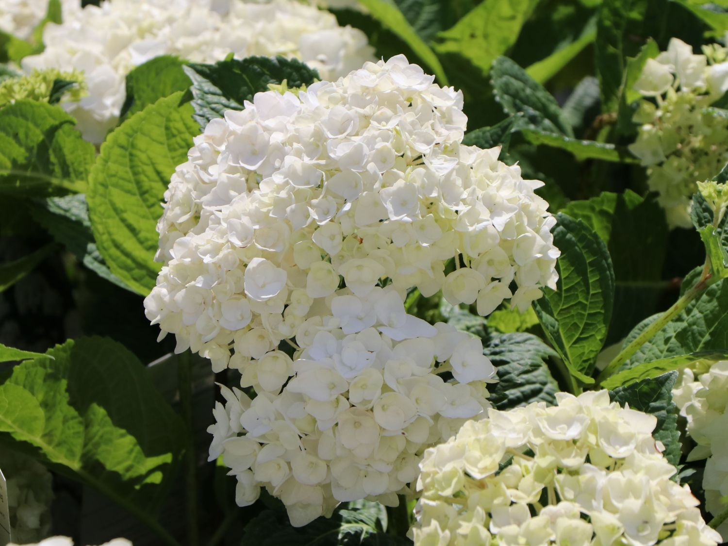 bauernhortensie endless summer 39 the bride 39 hydrangea macrophylla endless summer 39 the bride. Black Bedroom Furniture Sets. Home Design Ideas