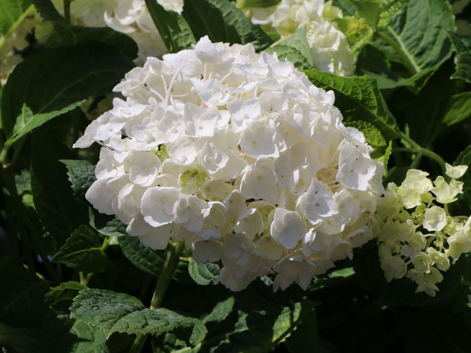 Bauernhortensie The Bride® Ballhortensie Hydrangea macrophy Endless Summer