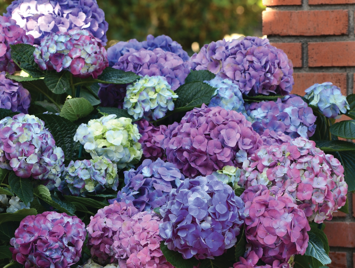 ballhortensie 39 l a dreamin 39 hydrangea macrophylla 39 l. Black Bedroom Furniture Sets. Home Design Ideas