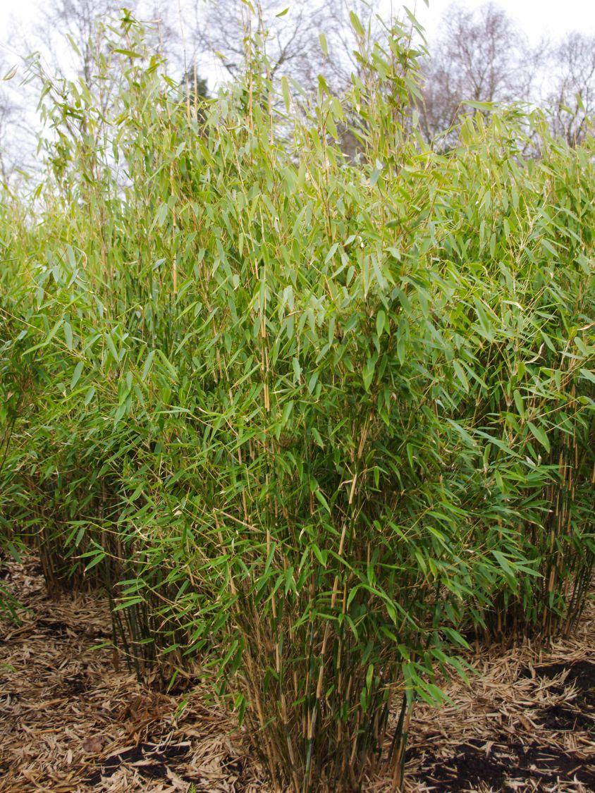 Bambus Smaragd Fargesia Murielae Smaragd Baumschule