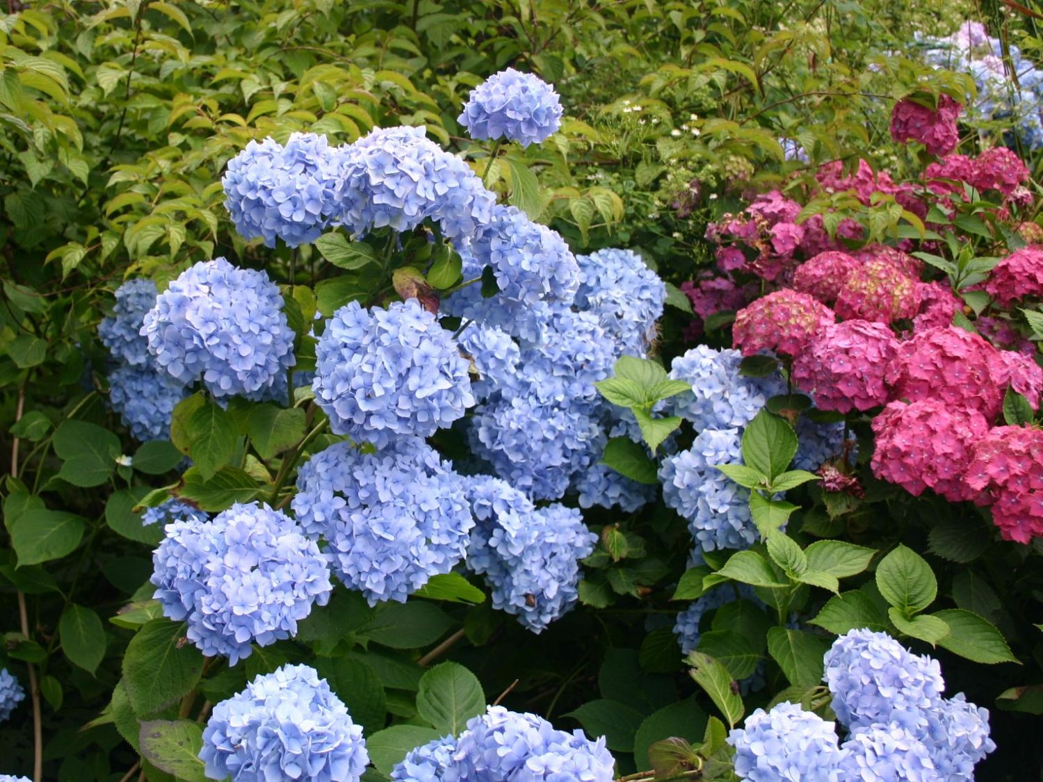 bauernhortensie 39 endless summer 39 blau hydrangea. Black Bedroom Furniture Sets. Home Design Ideas