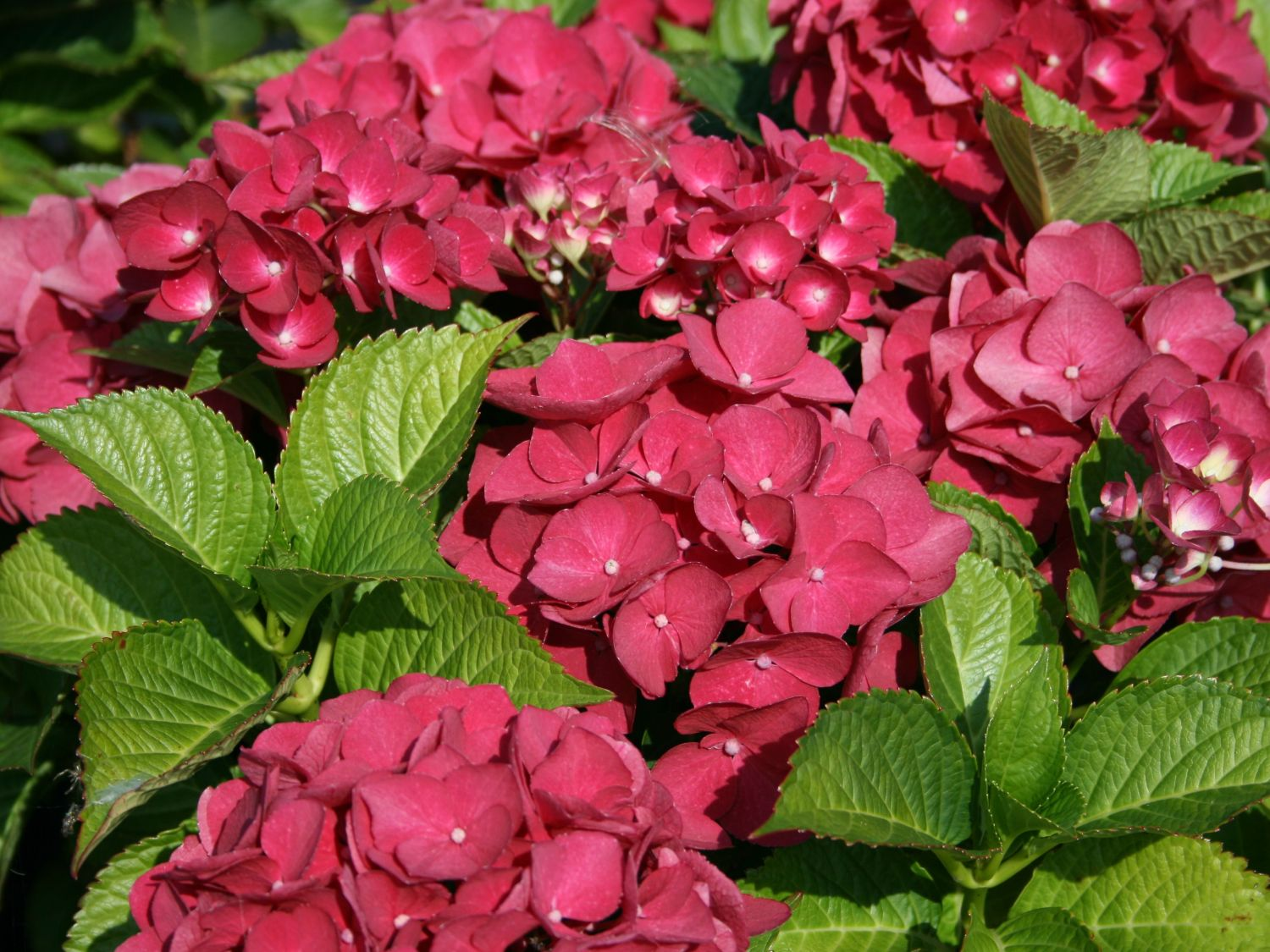 bauernhortensie 39 red baron 39 hydrangea macrophylla 39 red. Black Bedroom Furniture Sets. Home Design Ideas