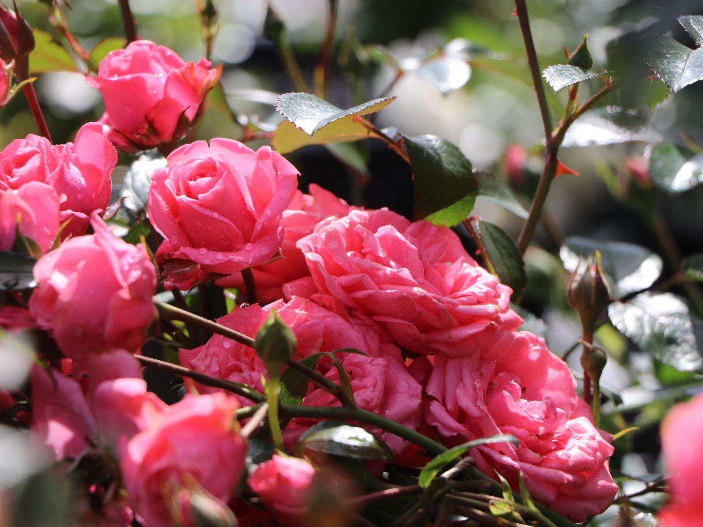 beetrose 39 bella rosa 39 rosa 39 bella rosa 39 baumschule. Black Bedroom Furniture Sets. Home Design Ideas