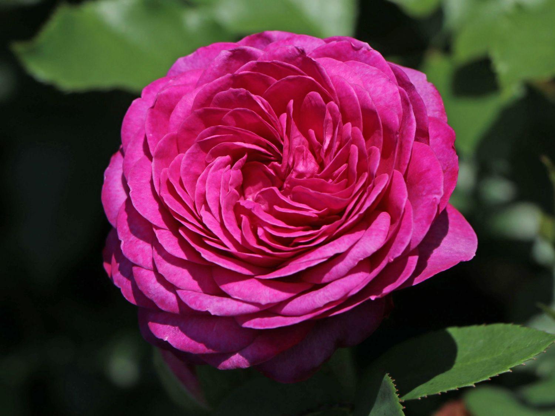 heidi klum rose
