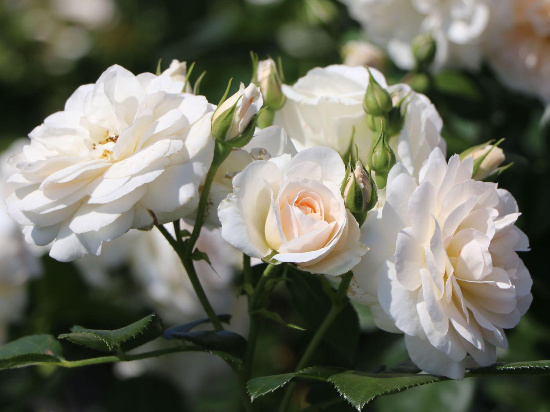 Beetrose \'Martin Luther Rose\' ® - Schönste Rosen ...