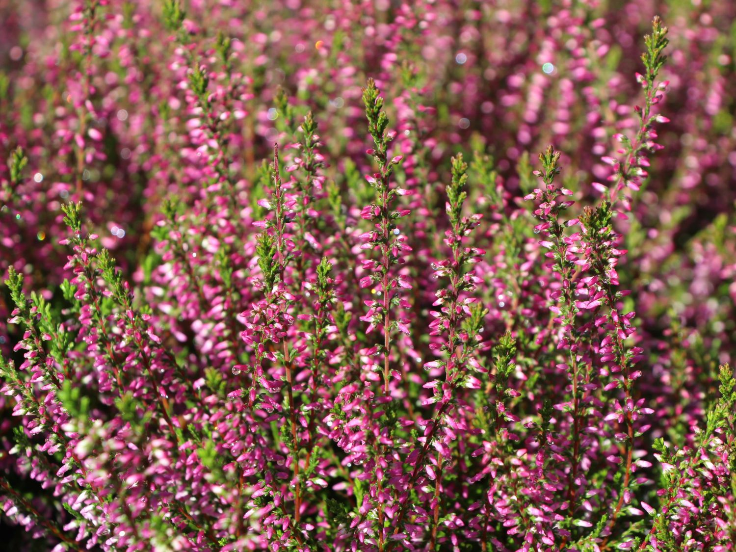 besenheide sommerheide 39 marlies 39 calluna vulgaris. Black Bedroom Furniture Sets. Home Design Ideas
