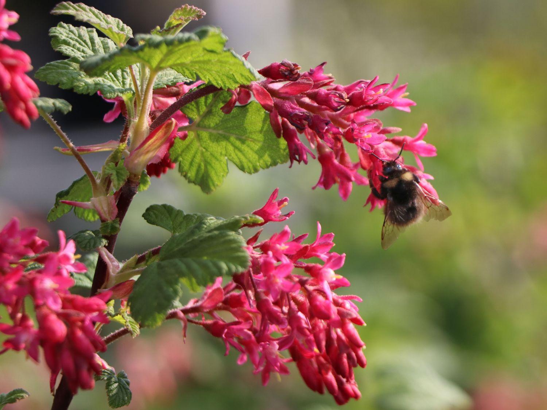 Blut-Johannisbeere Ribes sanguineum  /'King Edward VII/' 60-100 cm