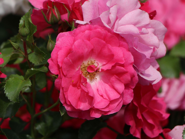 Bodendecker Rose Heidetraum Rosa Heidetraum Baumschule