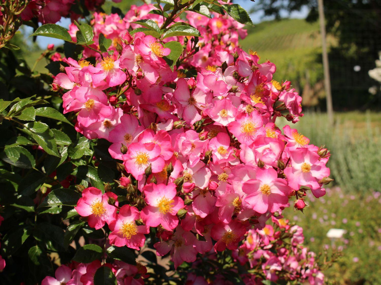 ландшафтный дизайн с почвопокровными розами