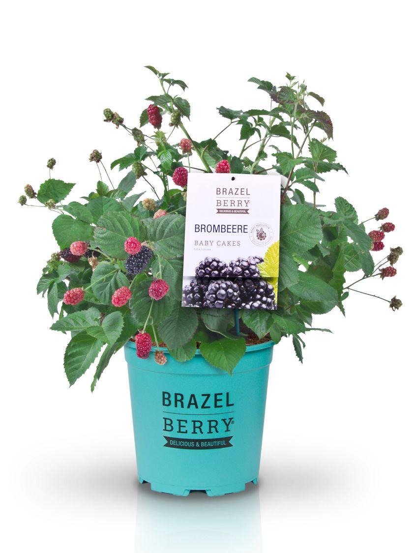 Brombeere Brazelberry Baby Cakes Rubus Fruticosus