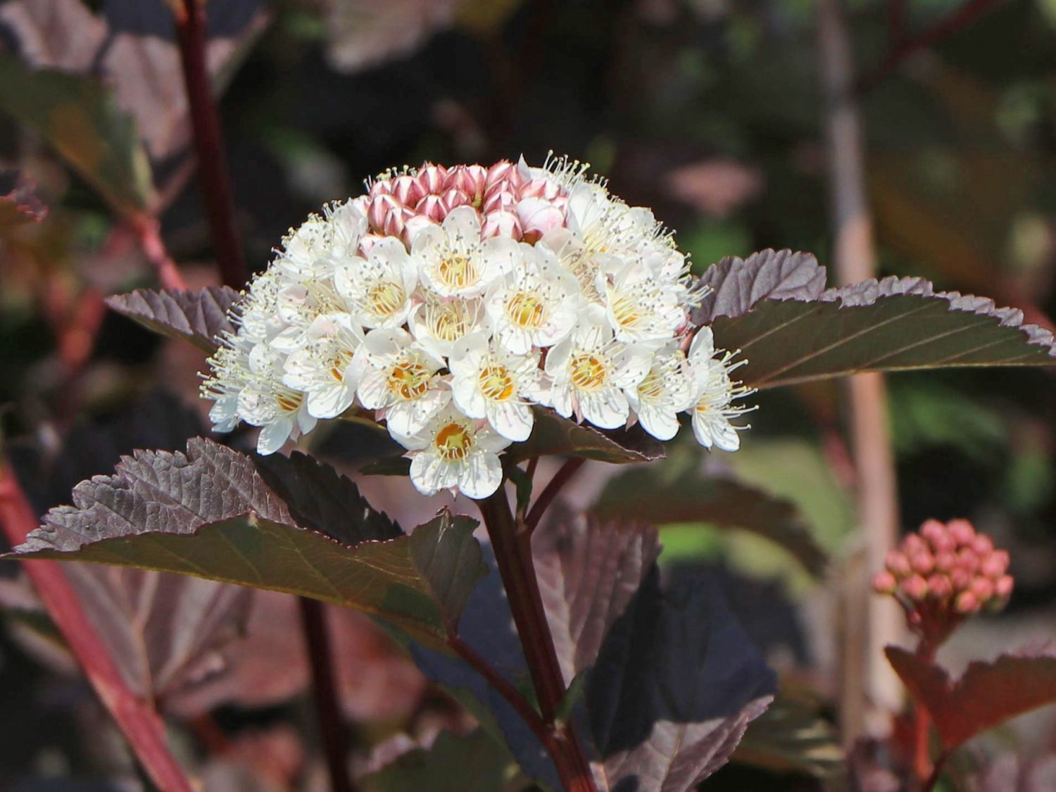 "Physocarpus opulifolius /""Lady in Red/"" ® 80-100cm Blut-Blasenspiere"