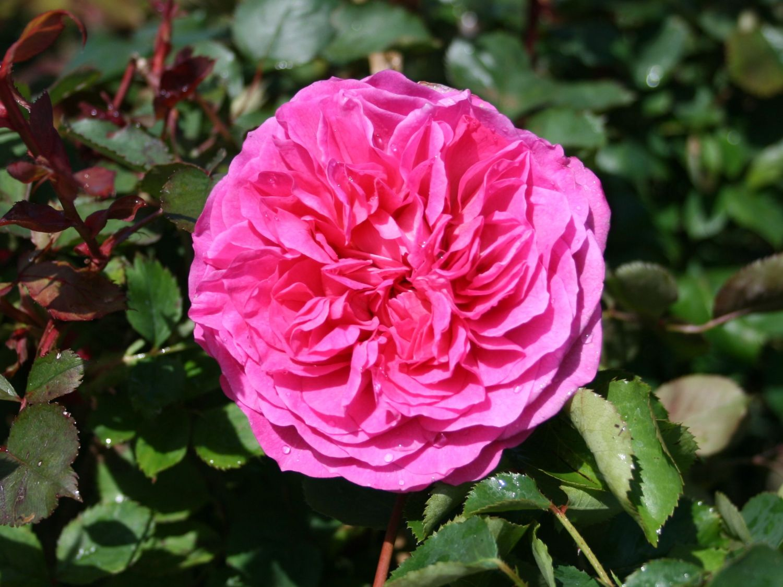 englische rose 39 fragrant old pink 39 rosa 39 fragrant old. Black Bedroom Furniture Sets. Home Design Ideas