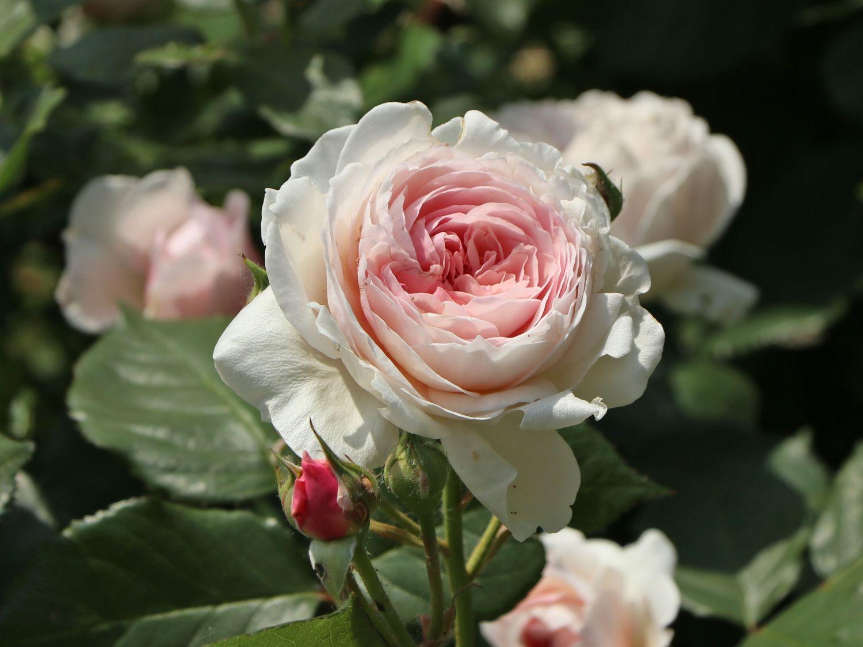 englische rose 39 geoff hamilton 39 rosa 39 geoff hamilton. Black Bedroom Furniture Sets. Home Design Ideas