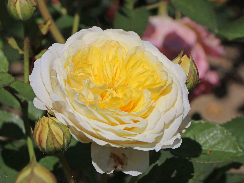 englische rose 39 the pilgrim 39 rosa 39 the pilgrim. Black Bedroom Furniture Sets. Home Design Ideas