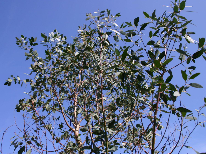 eukalyptus winterhart eukalyptus winterhart ebay rboles de colores y jard n japones taringa. Black Bedroom Furniture Sets. Home Design Ideas