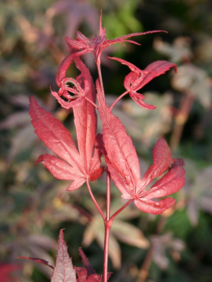 Atemberaubend Fächer-Ahorn 'Roter Stern' - Acer palmatum 'Roter Stern #YB_28