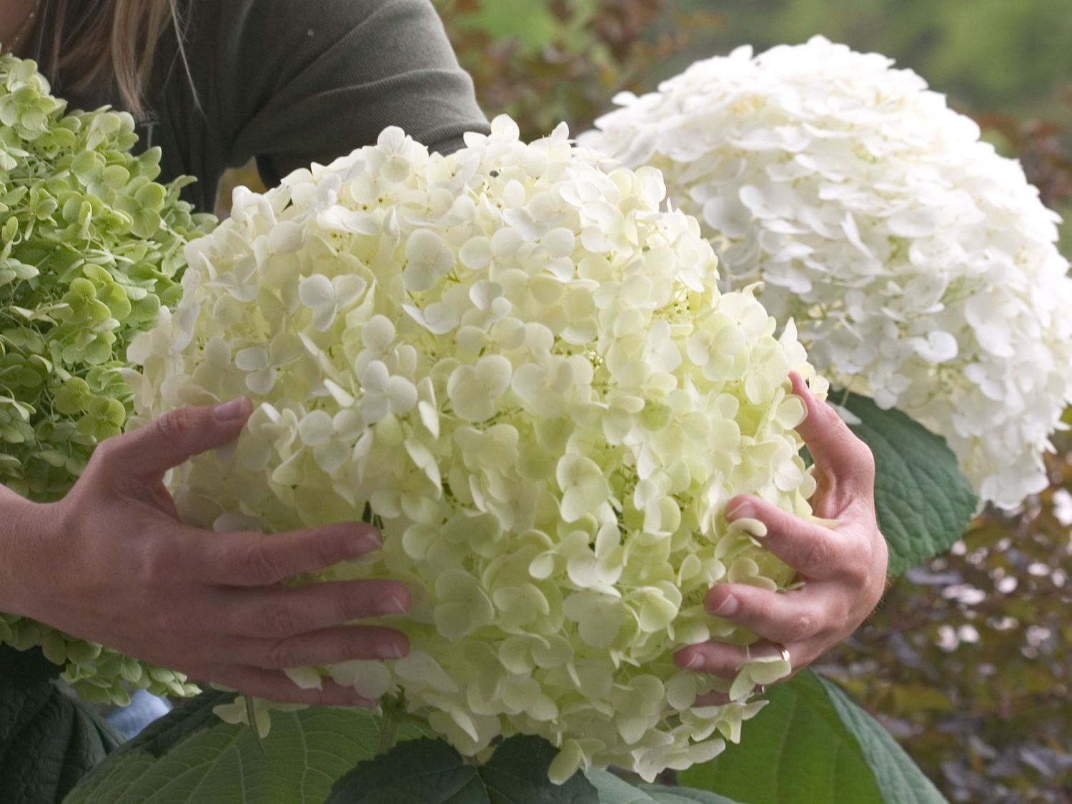 freiland hortensie 39 incrediball 39 hydrangea arborescens. Black Bedroom Furniture Sets. Home Design Ideas