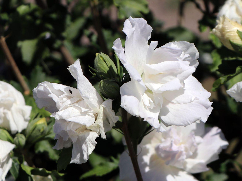 garteneibisch 39 jeanne d 39 arc 39 hibiscus syriacus 39 jeanne. Black Bedroom Furniture Sets. Home Design Ideas