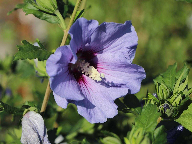 Garteneibisch Marina Hibiscus syriacus Marina Baumschule