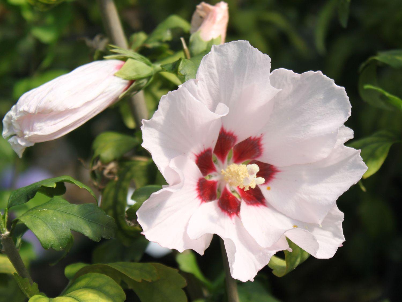 garteneibisch 39 mathilda 39 hibiscus syriacus 39 mathilda. Black Bedroom Furniture Sets. Home Design Ideas