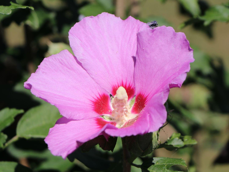 garteneibisch 39 russian violet 39 hibiscus syriacus. Black Bedroom Furniture Sets. Home Design Ideas