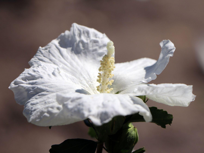garteneibisch 39 william r smith 39 hibiscus syriacus. Black Bedroom Furniture Sets. Home Design Ideas