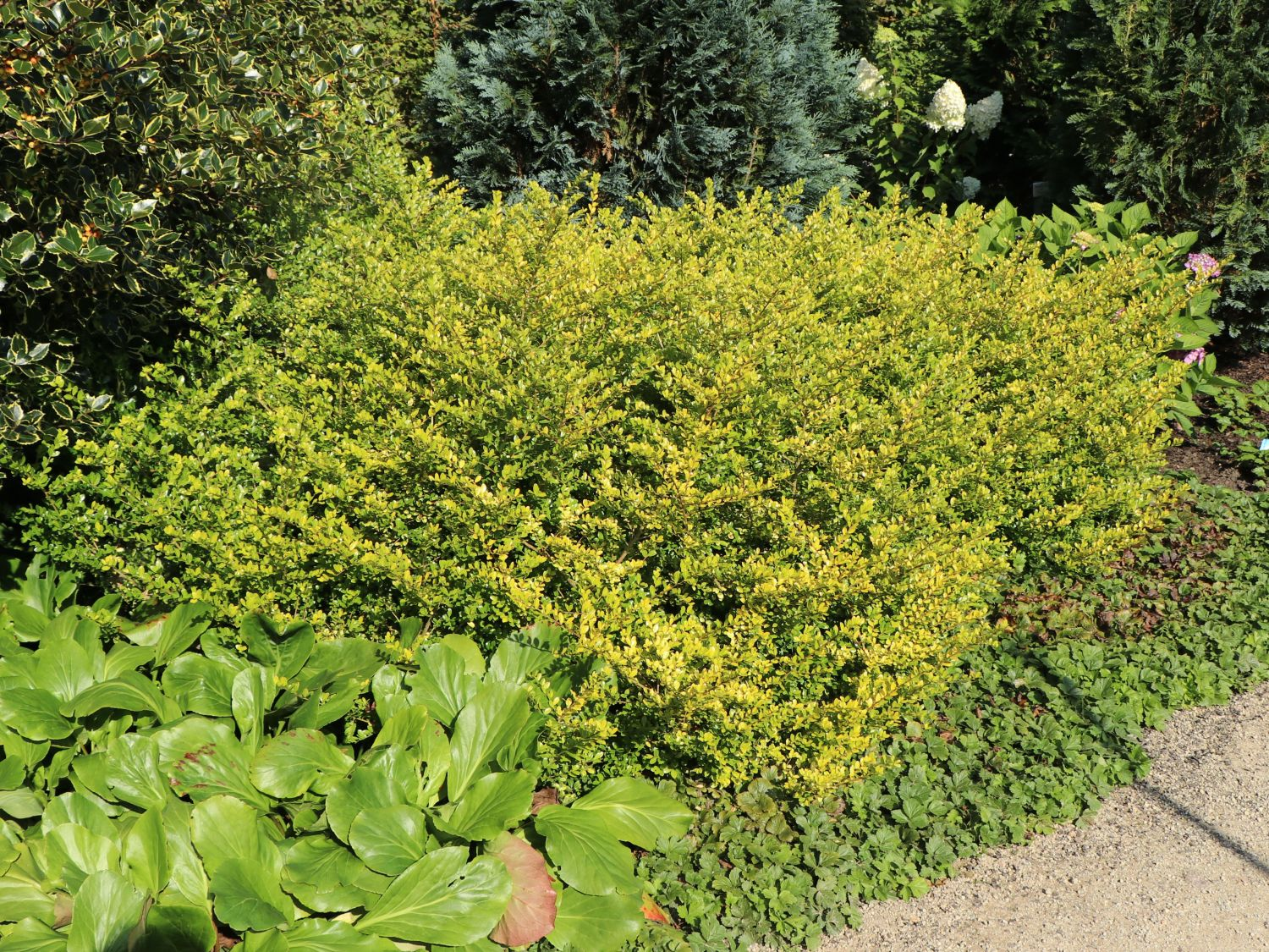 Ilex Crenata Golden Gem gelber bergilex 'golden gem' / gelbe japanstechpalme 'golden