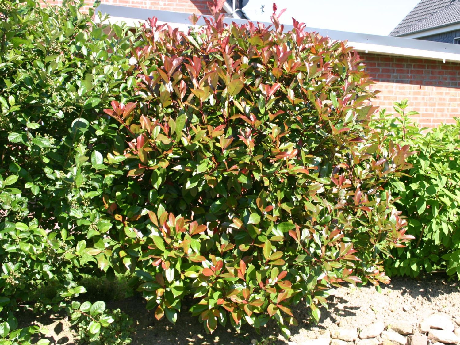 Rote Glanzmispel Red Robin Photinia Fraseri Red Robin