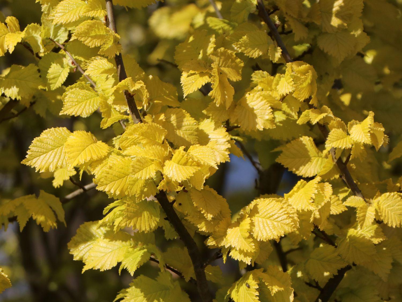 Goldulme Wredei Ulmus carpinifolia Wredei Baumschule