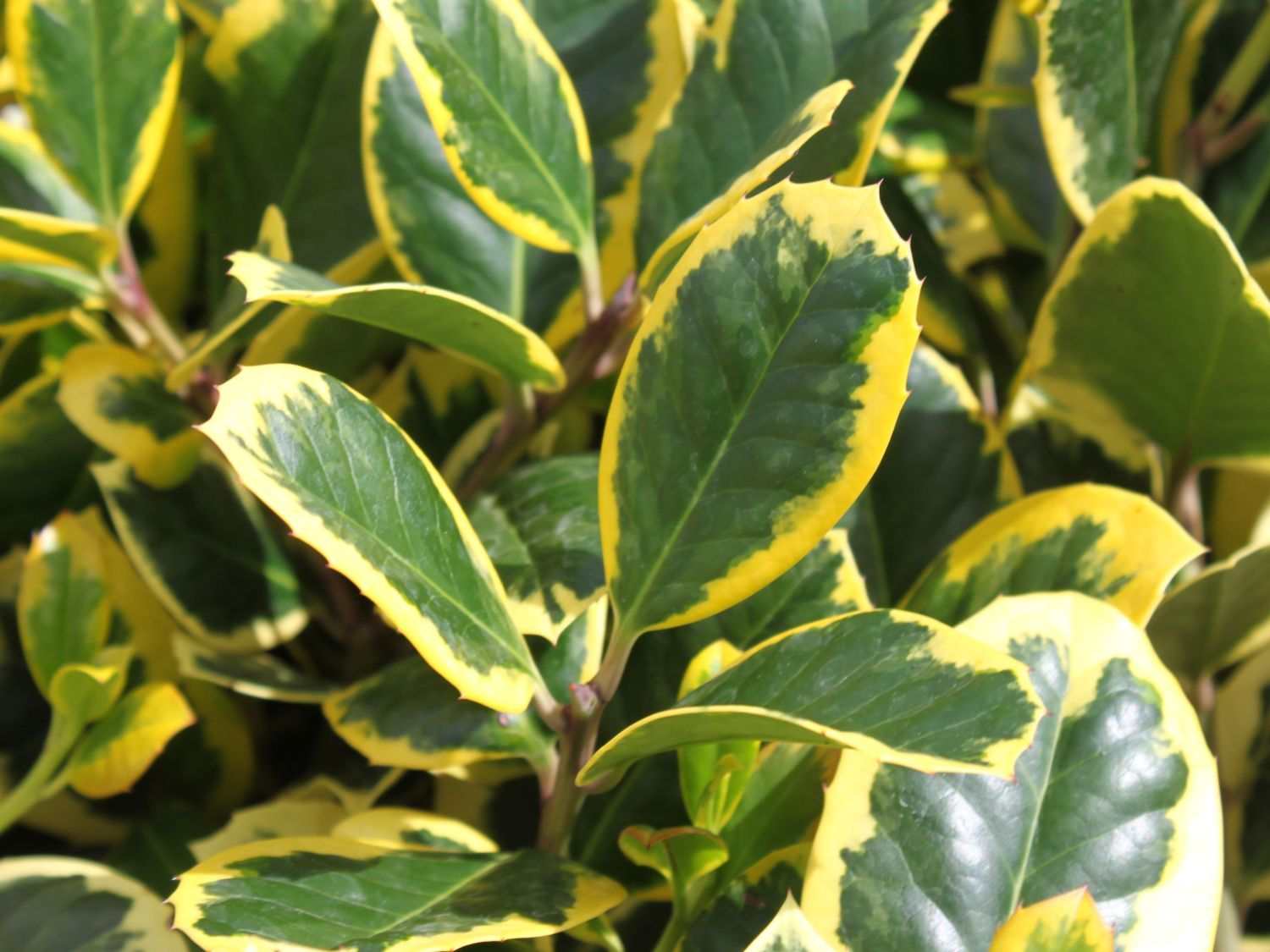 grossblaettrige stechpalme golden king ilex