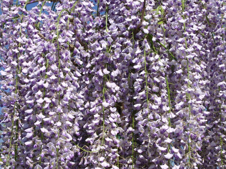 gro er blauregen edelblauregen glyzine wisteria floribunda 39 macrobotrys 39 baumschule horstmann. Black Bedroom Furniture Sets. Home Design Ideas