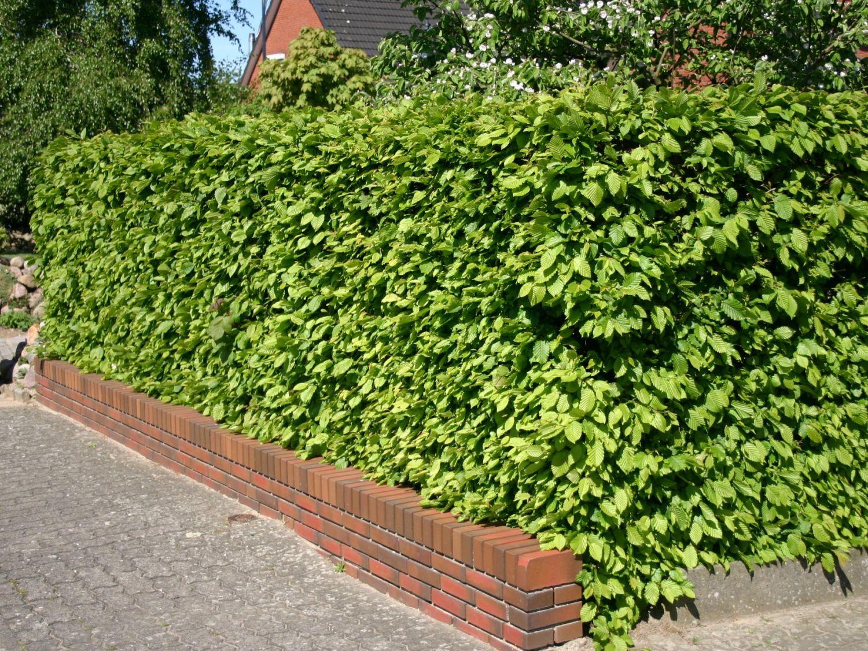 Hainbuche Weißbuche Carpinus betulus Baumschule Horstmann